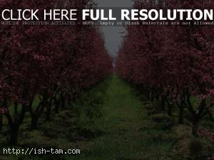Blooming fruit trees
